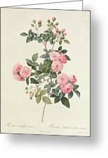 Rosa Multiflora Carnea Greeting Card