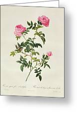 Rosa Sepium Flore Submultiplici Greeting Card