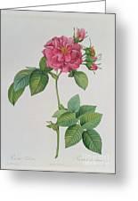 Rosa Turbinata Greeting Card by Pierre Joseph Redoute