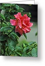 Rose 7898 Greeting Card
