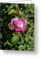 Rose And Bud Greeting Card