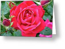 Rose And Buds - Double Knock Out Rose Greeting Card