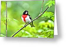 Rose-breasted Grosbeak 2 Greeting Card