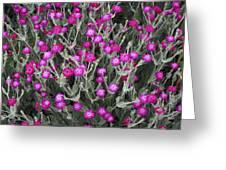 Rose Campion Greeting Card