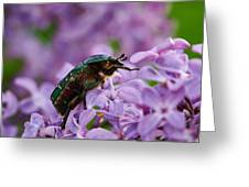Rose Chafer On Lilac Greeting Card