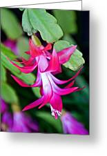Rose-colored Christmas Cactus At Pilgrim Place In Claremont-california  Greeting Card