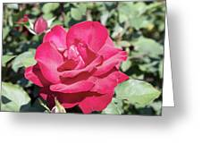 Rose In Bloom Greeting Card