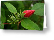 Rose O Sharon Bud Greeting Card