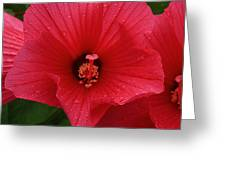 Rose O Sharon Closeup Greeting Card