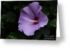 Rose Of Sharon - Hibiscus Syriacus Greeting Card