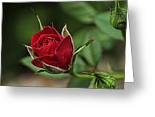 Rose Portrait  Greeting Card
