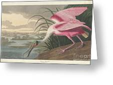 Roseate Spoonbill, 1836  Greeting Card