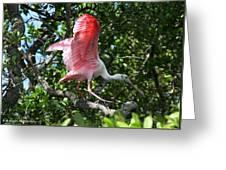 Roseate Spoonbill In Flight Greeting Card
