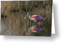 Roseate Spoonbill In Morning Light Greeting Card