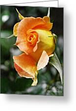 Rosebud Opening Greeting Card