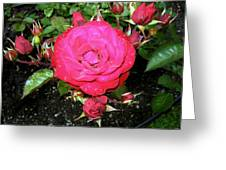 Roses 5 Greeting Card