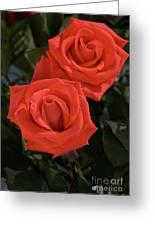 Roses-5840 Greeting Card