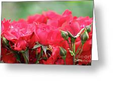 Roses Close Up Nature Spring Scene Greeting Card