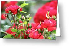 Roses Nature Spring Scene Greeting Card