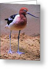Rosey-breasted Sandpiper Greeting Card
