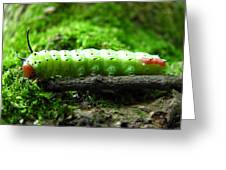 Rosy Maple Moth Caterpillar Greeting Card