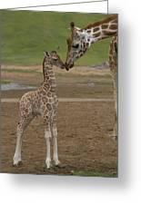 Rothschild Giraffe Giraffa Greeting Card
