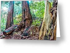 Rotten Redwoods Of Muir Woods Greeting Card