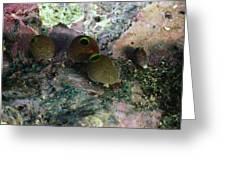 Round Bulb, Didemnum Molleb Tunicates Greeting Card