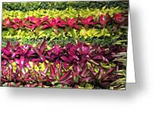 Rows Of Bromeliads Greeting Card