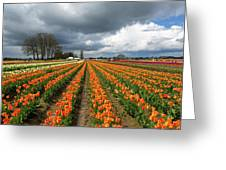 Rows Of Colorful Tulips At Festival Greeting Card