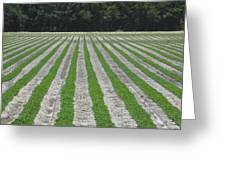 Rows Of Crops Greeting Card