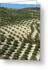 Rows Of Olive Trees Growing In The Village Of Baena Greeting Card