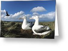 Royal Albatrosses Nesting Greeting Card