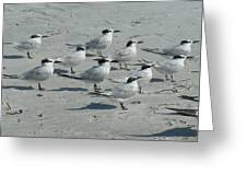 Royal Terns #3 Greeting Card