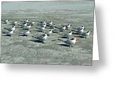 Royal Terns #4 Greeting Card