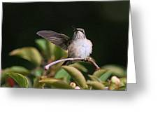Ruby-throated Hummingbird - Juvenile Greeting Card
