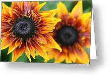 Rudbeckia - Cherokee Sunset Greeting Card