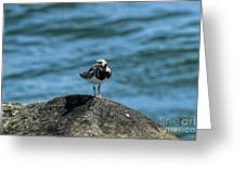 Ruddy Turnstone 2 Greeting Card