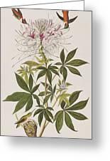 Ruff-necked Hummingbird Greeting Card