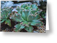 Echeveria Rosea  Greeting Card