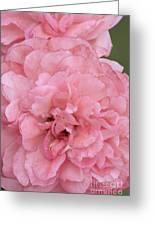 Ruffled Pink Rose Greeting Card