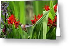 Rufous Hummingbird Feeding, No. 3 Greeting Card by Belinda Greb