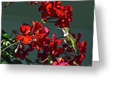 Rufus Humming Bird At Sunrise  Greeting Card