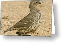 Running Quail Greeting Card