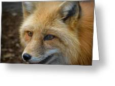 Russian Red Fox Greeting Card