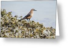 Rusty Blackbird #6 Greeting Card