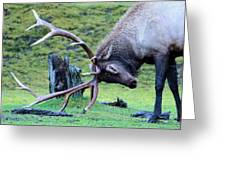 Rutting Bull Elk Greeting Card