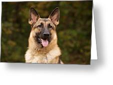 Sable German Shepherd Greeting Card