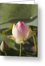 Sacred Lotus - Nelumbo Greeting Card