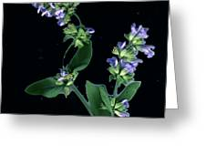 Sage Blossom  Greeting Card